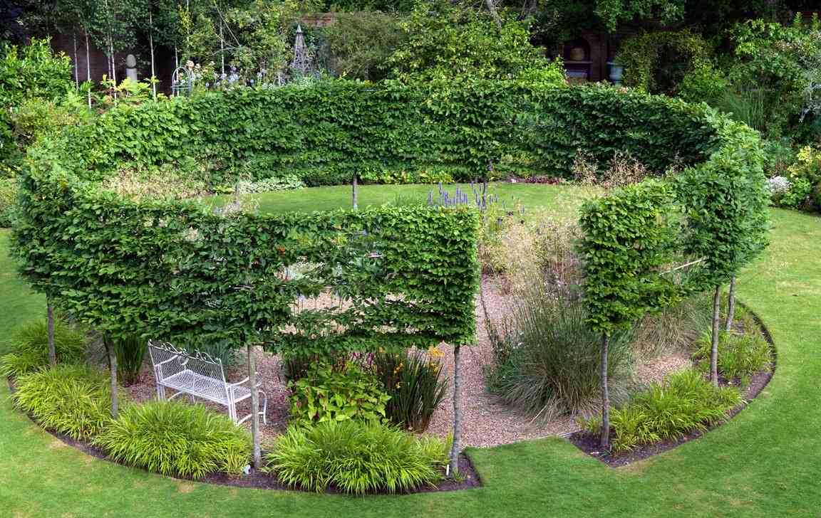 Pleached Carpinus